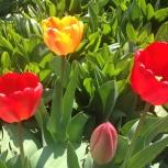 Продам тюльпаны ассорти, Новосибирск