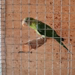 Птенец сливоголового попугая, Новосибирск