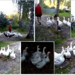 Гуси стадо 14 птиц  продам не дорого, Новосибирск