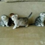 Очаровательные шотландские котята, Новосибирск