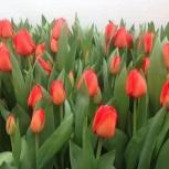 Тюльпаны сибирские, высокие из теплицы, оптом и розницу, Новосибирск