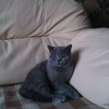 Вязка британский кот, Новосибирск