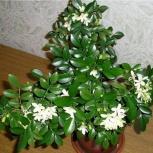 Цветы - Мурайя, розмарин, карлковый гранат, Новосибирск