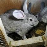 Продам кроликов - фландеров, Новосибирск