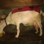 Продам дойную козу, Новосибирск