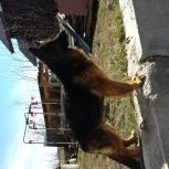 Шикарные собаки немцы, Новосибирск