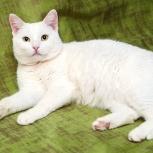 Молодой кот Француз (можно Беляш), Новосибирск