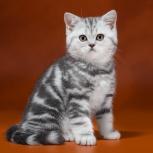 Британские котята с родословной, Новосибирск