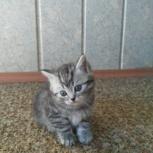 Продам котят британцев мраморных 1,5 месяца, Новосибирск
