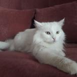 Нежная кошка ангорской породы Сима, Новосибирск