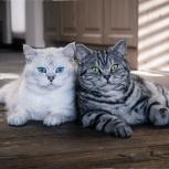 Котята британцы, Новосибирск