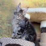 Красавцы мейн-куны - великолепные котята, Новосибирск