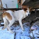 Заберите бесхозную собаку в добрые руки! Высота 60 см в корпусе, Новосибирск