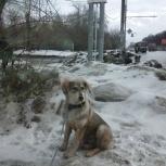 Найден пес кобель, Новосибирск
