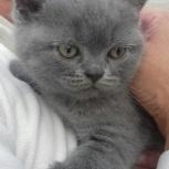 Голубые плюшевые британские котята, Новосибирск
