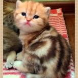 Эксклюзивные британские котята, Новосибирск