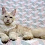 Котенок мейн кун, Новосибирск