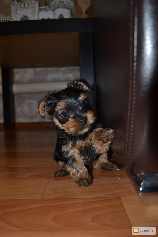 Доска объявлений г.новосибирск продам щенка йоркшир-терьерайорка подать бесплатное объявление в оскольский курьер