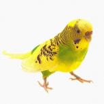 Попугай волнистый (самочка), Новосибирск
