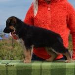 Продам щенков немецкой овчарки сука и кобель, Новосибирск
