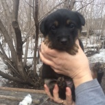 Отдам в добрые руки щеночки, Новосибирск