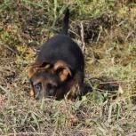 Теам зильбер вассерфаль щенки, Новосибирск