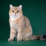 Продажа британского племенного кота, Новосибирск