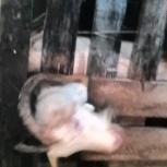 Продам коз и козлят, Новосибирск