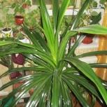 Пальма пандантус, Новосибирск