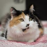 Трёхцветная молодая кошечка. Стерилизована, Новосибирск