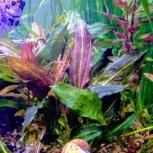 Продам растения  в аквариум, Новосибирск