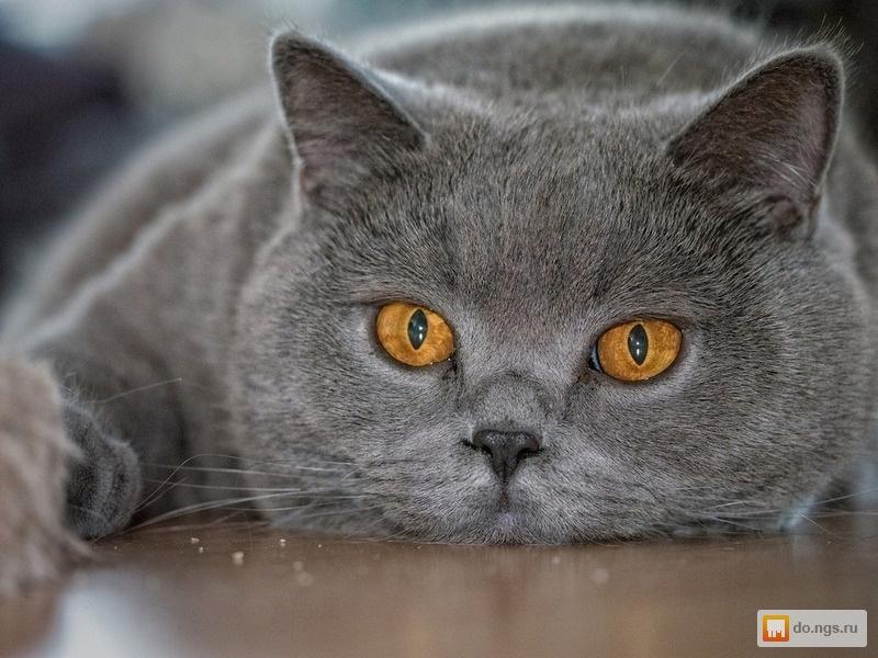 Кот на вязку голубой британец
