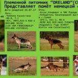 Продам щенков немецкой овчарки, Новосибирск