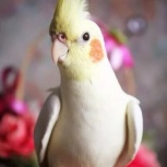 Продам птенцов корелл, Новосибирск