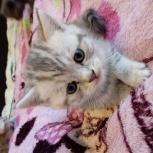 Продам красивых крупных британских котят, Новосибирск