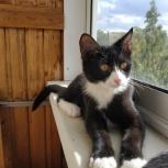 Котенок а-ля Феликс в добрые руки, Новосибирск
