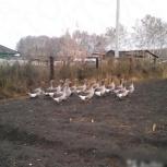Продам мясо гусей, Новосибирск
