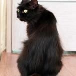 Кошка шикарная, умная, Новосибирск
