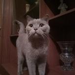 Найдена британская молодая кошка, Новосибирск