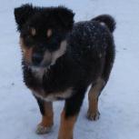 Ребята-щенята, возраст 1,5 месяца, Новосибирск