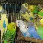 Волнистые попугайчики  домашнего разведения  с клеткой, Новосибирск