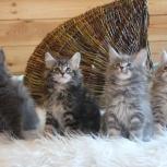 Замечательные котятки мейн-кун, Новосибирск