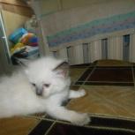 продам  тайских котят, Новосибирск