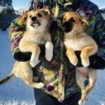 Щенки, доставка до дома, Новосибирск