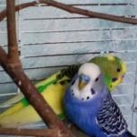 Поменяю самца попугая, Новосибирск