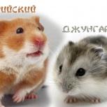 Питомцы хомячки в Аква Зооцентр, Новосибирск