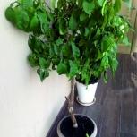 Продам цитрусовое дерево, Новосибирск