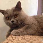 Британская кошка, Новосибирск