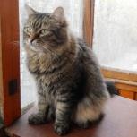 Арси - сибирскийй кот , кастрированный., Новосибирск