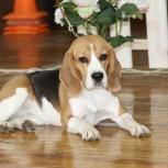 Пропала собака. Взрослый бигль - девочка, Новосибирск